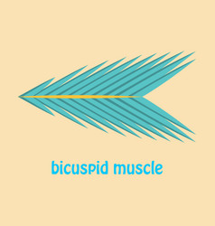 Flat bicuspid muscle vector
