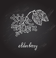 Hand drawn elderberry vector