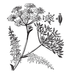 Caraway vintage engraving vector image