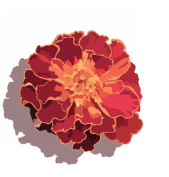 Marigold flower isolated on white vector image