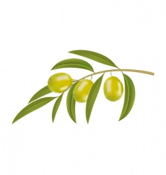 Olives on branch vector
