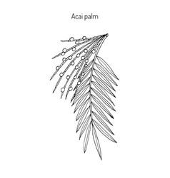 acai palm euterpe oleracea vector image