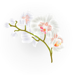 branches orchid phalaenopsis white flowers vector image vector image