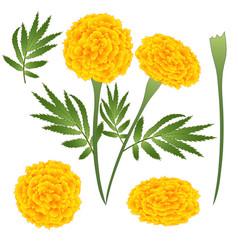 Marigold flower - tagetes vector