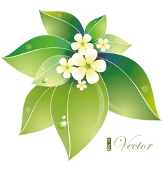 Jasmin flowers vector