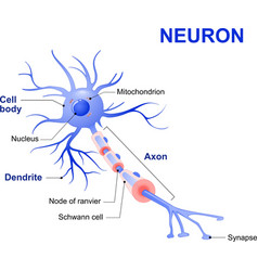 typical human neuron vector image