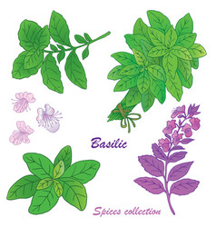 basilic 1 b vector image vector image