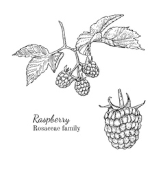 Ink raspberry hand drawn sketch vector image vector image