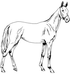Race horse without a harness drawn in ink by hand vector