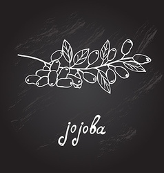 Hand drawn jojoba vector