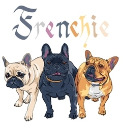 Sketch domestic dog french bulldog breed vector