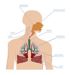 Human respiratory system in vector