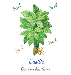basilic vector image vector image