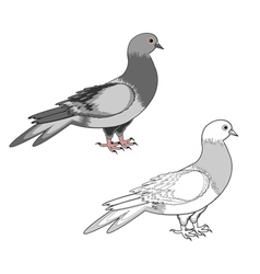 A pigeon isolated on a white background vector