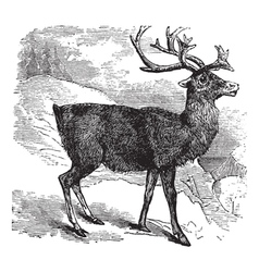 Caribou or Reindeer vintage engraving vector image
