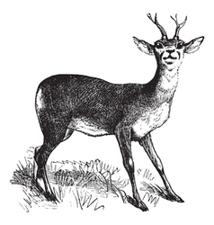 Roe deer vintage engraving vector