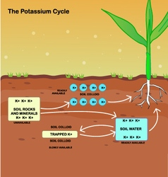 The potassium cycle vector