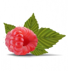 raspberry with leaves vector image vector image