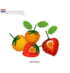 Fresh strawberry the popular fruits of netherland vector