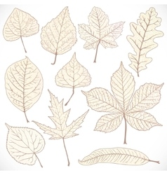 Skeleton autumn leaves of different trees isolated vector image vector image