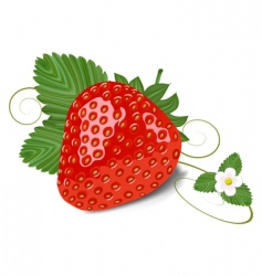 strawberry with leaves and flowe vector image