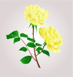 Twig yellow roses stem with leaves and blossoms vector