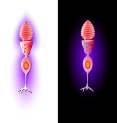 cone cells vector image