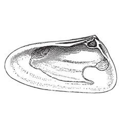 Right valve of mollusk vintage vector