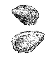 oyster drawing engraving ink line vector image vector image