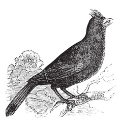 Cardinal of virginia engraving vector