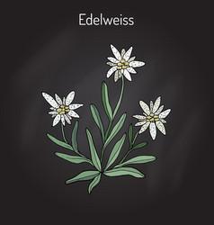 edelweiss leontopodium alpinum vector image
