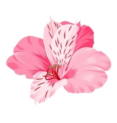 Alstromeria isolated on white vector image vector image