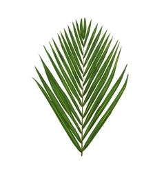 green palm leafe isolated on white vector image vector image