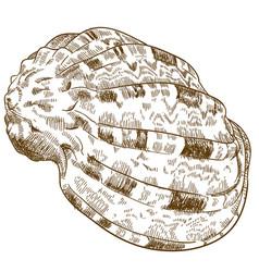 Engraving of conch seashell vector