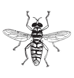 Hoverfly vintage vector