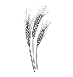 Hand drawn of wheat vector image