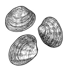 edible clam drawing engraving ink vector image