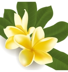 Realistic frangipani flower with leaves vector