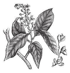 Celastrus scandens or American bittersweet vintage vector image vector image