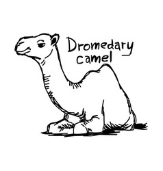 Dromedary camel sitting on the sand vector