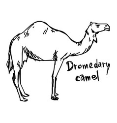 Dromedary camel standing on the sand vector