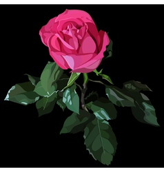 luxury bright pink rose on a black background vector image vector image