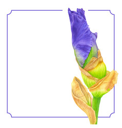 watercolor pink iris botanical art template for vector image