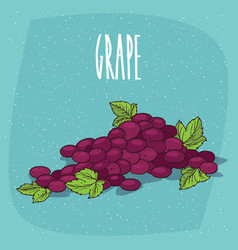 isolated bunch of grapes or part of vine vector image