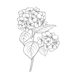 Blooming flower hydrangea vector