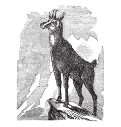 Chamois vintage engraving vector