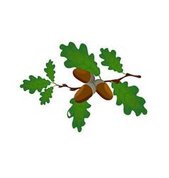 Green oak branch with acorns volumetric drawing vector