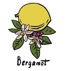 Bergamot fruit vector