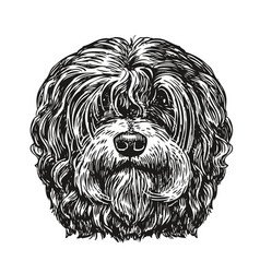 hand drawn portrait lapdog dog pet animal vector image vector image