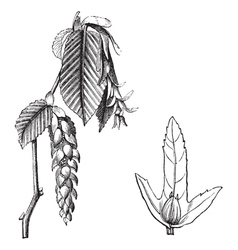 European Hornbeam vintage engraving vector image